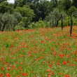 Red poppies on green field — Stock Photo #28493421