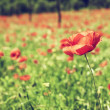 Vintage red poppies on green field — Stock Photo