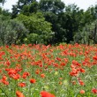Red poppies on green field — Stock Photo #28496061