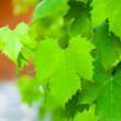 Vine leaf — Stockfoto