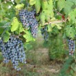 Stock Photo: Bunches of red wine grapes hanging on wine