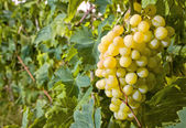 Withe grapes — Stock Photo