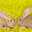 Tow cute rabbits in love — Stock Photo #29060197
