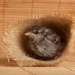 närbild på nice little sparrow i ett rede av jute — Stockfoto