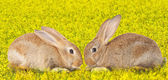 Tow cute rabbits in love — Foto Stock