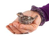 Detailní záběr hezký malý vrabec v ruce — Stock fotografie