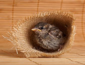 Close up of nice little sparrow in a nest of jute — Stock Photo