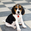 Stock Photo: Cute Beagle puppy
