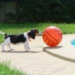 Постер, плакат: Cute Beagle puppy