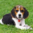 Cute Beagle puppy — Stockfoto