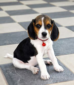 Cute Beagle puppy — Photo