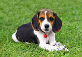 Cute Beagle puppy — Stock Photo