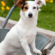 Jack Russell sitting in wheelbarrow — Stock Photo #29235763