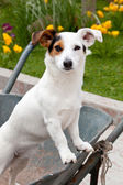Jack Russell sitting in wheelbarrow — Stock Photo