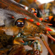 Macro of living lobster — Stock Photo