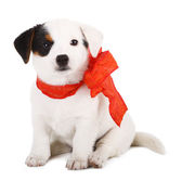 Jack Russell puppy — Stock Photo