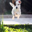 Jumping jack russell terrier for thrown ball aport — Stockfoto