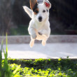 图库照片: Jumping jack russell terrier for thrown ball aport