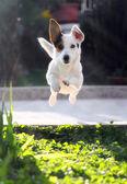 Skaczący jack russell terier wyrzucony piłkę aport. — Zdjęcie stockowe