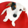 Cute Jack Russell sitting on a red stool — Stock Photo