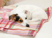 Cute Jack Russell on the bed — Stock Photo