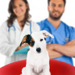 Two veterinarians with a jack russell — Stock Photo