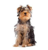 Yorkshire Terrier looking at camera — Stok fotoğraf