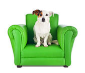 Jack russell sitting on a green armchair — Stock Photo