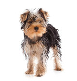 Yorkshire Terrier looking at camera — Stock Photo