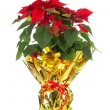 Christmas poinsettia — Stock Photo