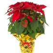 Christmas poinsettia — Stock Photo #34016803