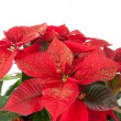 Christmas poinsettia — 图库照片
