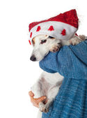 Cute jack russell with christmas hat in the arms — Stock Photo