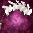 Stock Photo: White orchid flowers