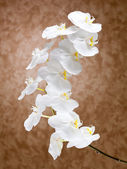 White orchid flowers — Foto de Stock