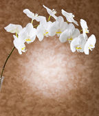 White orchid flowers — Stock Photo