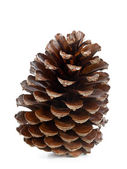 Brown pine cone — Stock fotografie