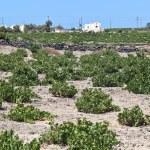 Santorini vineyard — Stock Photo