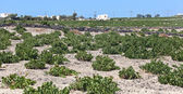 Santorini vineyard — Stock Photo