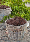 Baskets with stalks in the vineyard — Stock Photo
