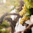 Bunch of white grapes in the vineyard — 图库照片