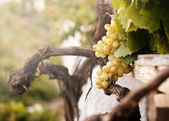 Bunch of white grapes in the vineyard — Stock Photo