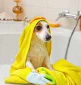 Chien, prendre un bain dans une baignoire — Photo