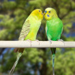 Stock Photo: Couple of parrots