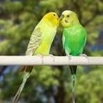 Couple of parrots — Stock Photo