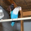 Blue budgerigars in cage — Stock Photo #39394897