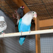 Stock Photo: Blue budgerigars in cage