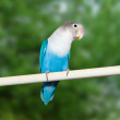 Blue budgerigar — Stock Photo