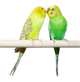 Two Budgie sit on a perch — Stock Photo
