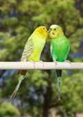 Couple of parrots — Stock Photo